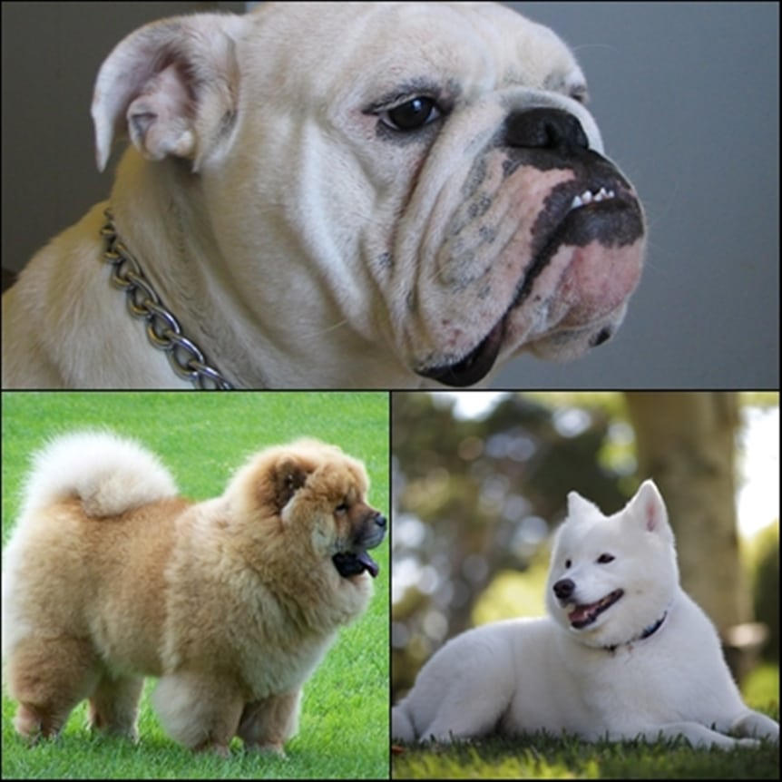 10 Most Expensive Dog Breeds to Own